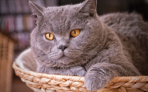 Picture cat, cat, face, British, British Shorthair