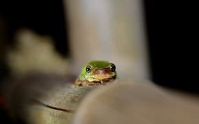 Picture eyes, frog, green, looks