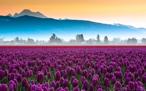 Picture field, flowers, mountains, tulips, haze