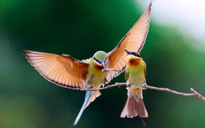 Picture birds, branch, the European bee-eater Golden, pouloudi
