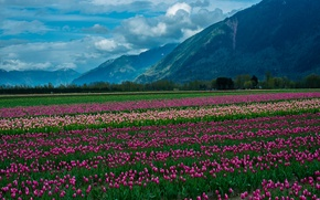 Picture flowers, flowers, snow, mountains, tulips, field, clouds, clouds, snow, nature, mountain, tulips, the field, nature, ...