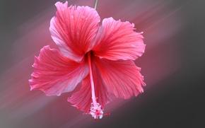 Picture flower, petals, hibiscus