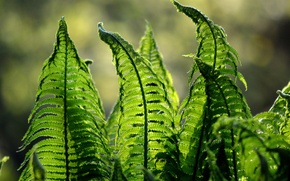Picture leaves, nature, plant, fern