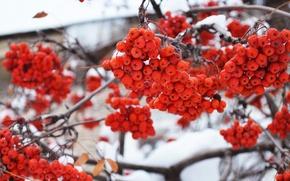 Picture winter, snow, trees, berries, tree, Rowan