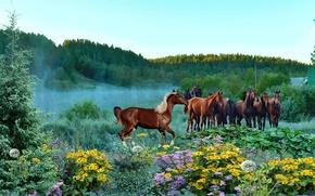Picture summer, fog, morning, Horses