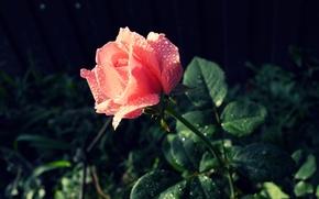 Picture grass, drops, flowers, green, pink, rose, petals, stem, beautiful
