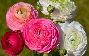 Picture bouquet, buds, Ranunculus