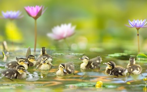 Picture water, flowers, birds, Lily, ducklings, Chicks