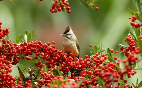 Picture branches, berries, bird