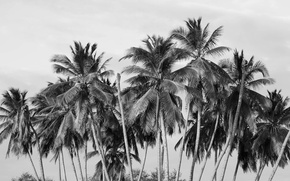 Picture trees, palm trees, black and white
