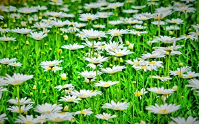 Picture greens, flowers, nature, background, widescreen, Wallpaper, chamomile, Daisy, wallpaper, flowers, flower, nature, widescreen, flowers, background, …