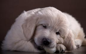 Picture cute, puppy, Retriever