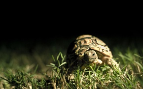 Picture grass, macro, the dark background, turtle, shell