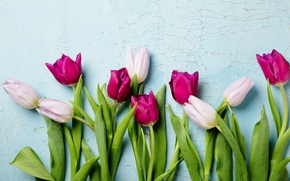 Picture background, tulips, white, wet, raspberry, closeup