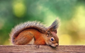Picture autumn, stay, Board, September, red squirrel