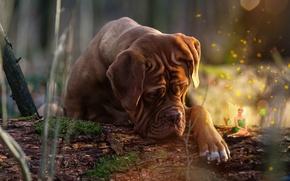 Picture nature, animal, collage, dog, fairy, log, dog, dog, Dogue de Bordeaux