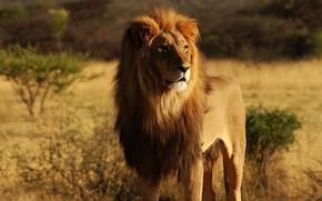 Picture animals, Leo, animals, lion
