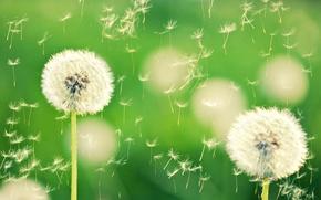 Picture macro, flowers, nature, green, background, dandelion, Wallpaper, plant, wallpaper, dandelions, widescreen, background, bokeh, full screen, …