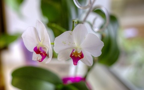 Picture flowers, petals, white, orchids