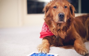 Picture dog, red, dog, tablet