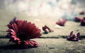 Picture flower, asphalt, macro, photo, earth, petals, gerbera