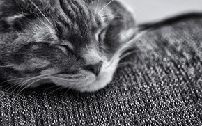 Picture cat, cat, face, muzzle, sleeping, black and white