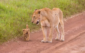 Picture lioness, lion, Mother & Child