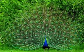Wallpaper bright, bird, large, tail, peacock, beautiful