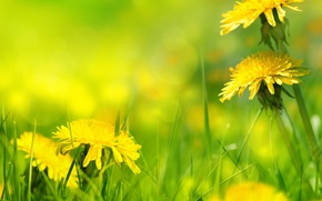 Picture nature, grass, weed, dandelions, nature, dandelion