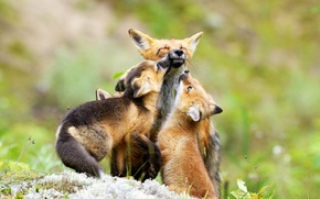 Picture greens, nature, three, family, cubs, cubs, Fox