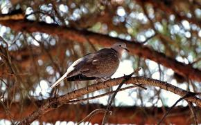 Picture glare, tree, bird, branch, turtledove