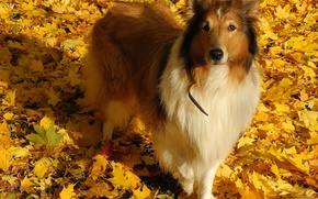 Picture look, leaves, collie