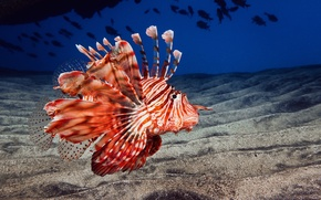 Picture sand, sea, the ocean, the bottom, fish lion, lionfish, fish-dragon