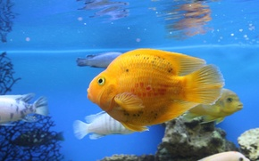 Wallpaper aquarium, Fish, parrot