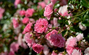 Wallpaper macro, roses, branch, bokeh, rose Bush