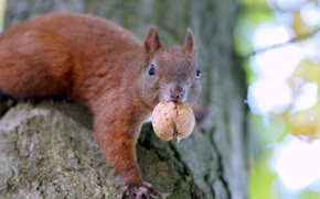 Picture blur, walnut, protein, the trunk of the tree