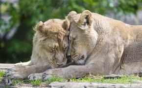 Picture cats, pair, lions, ©Tambako The Jaguar