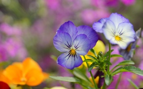 Picture flowers, blue, Pansy, field, viola