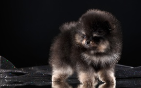 Picture fluffy, breed, Spitz