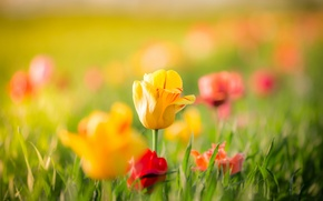 Picture leaves, flowers, spring, yellow, Tulips, red, buds, bokeh