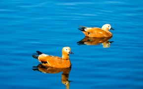 Picture lake, pond, widescreen, Wallpaper, duck, wallpaper, duck, widescreen, background, the Wallpapers, full screen, HD wallpapers, ...