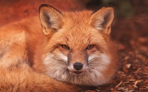 Picture look, face, Fox, red