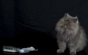 Picture cat, bottle, fluffy, milk, Persian cat