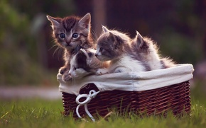 Picture basket, kittens, weed
