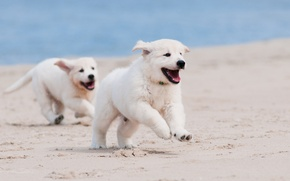 Picture macro, puppies, running, dogs, beach, sand