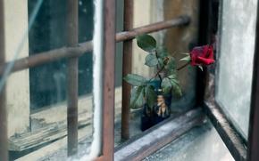Wallpaper window, flower, rose