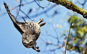 Picture owl, branch, down, flies, falls, wing