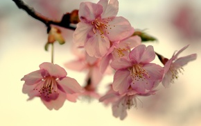 Picture the sky, macro, light, cherry, Japan, branch, spring, petals, Sakura, pink, flowering