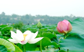 Picture leaves, flowers, Lotus, pond