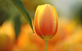 Picture flower, macro, nature, Tulip